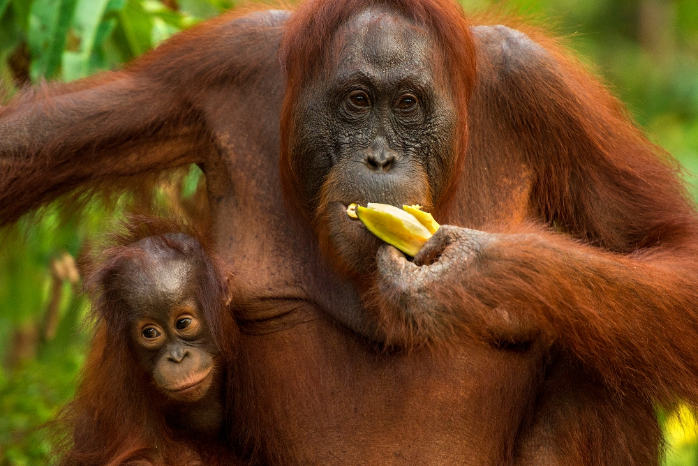Borneo Orang Utan Female and Baby 1