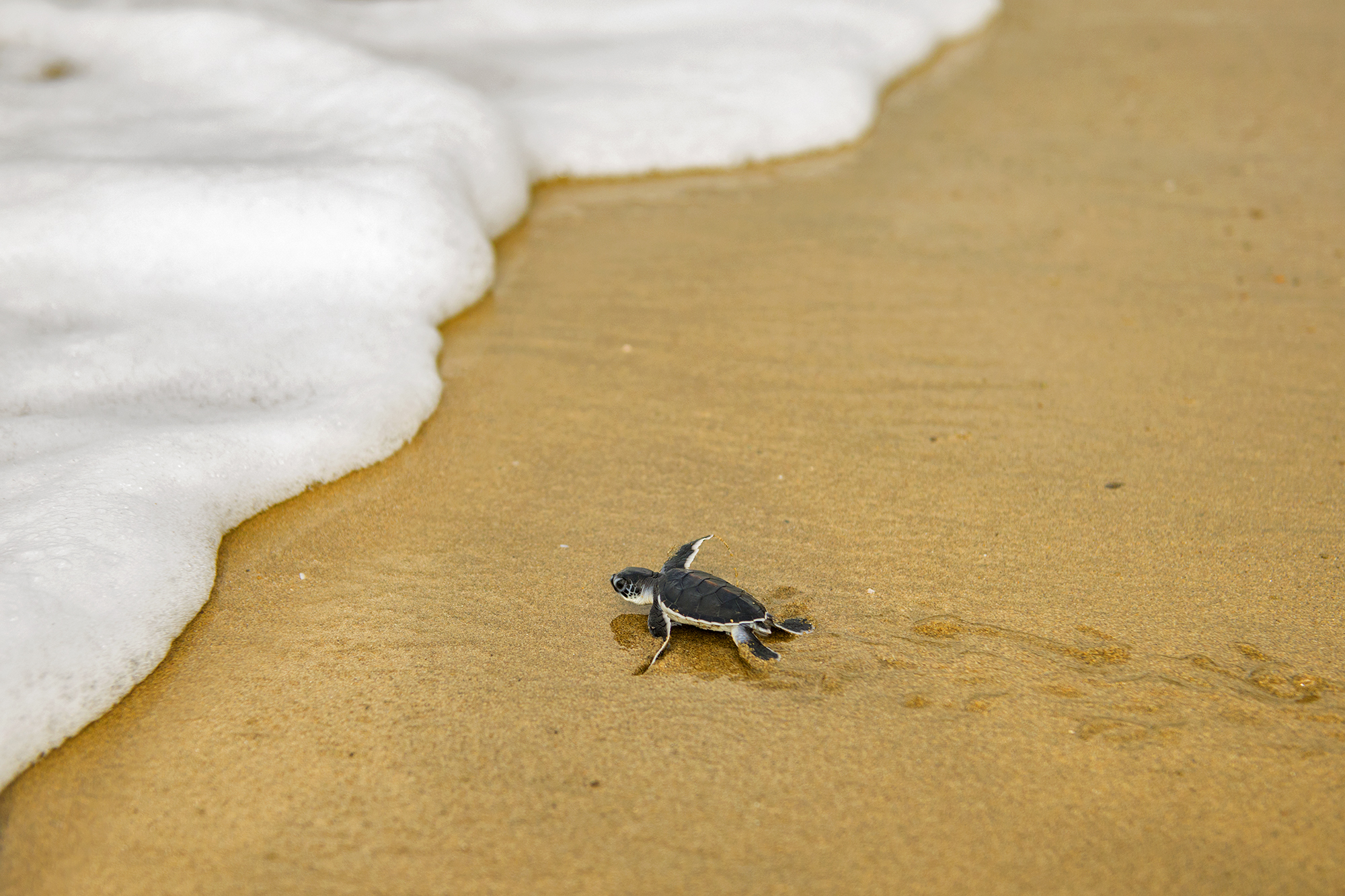 Sukamade Green Sea Turtle Hatchling 8