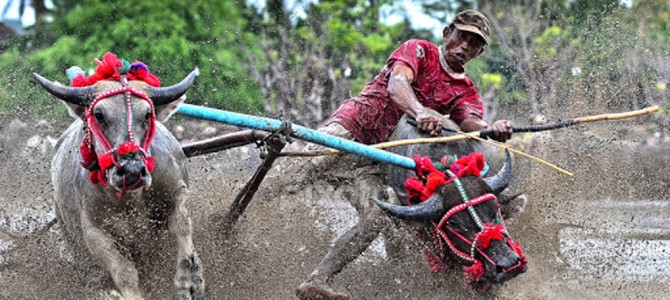 Exciting Buffalo & Cow Festival in Indonesia