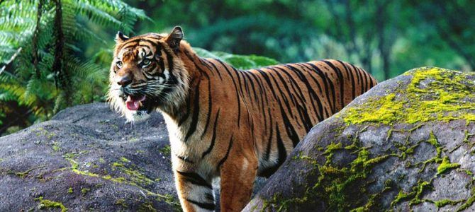 Sumatran Tiger Expedition