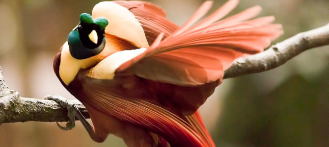Cendrawasih Birdwatching (Birds of Paradise) in West Papua